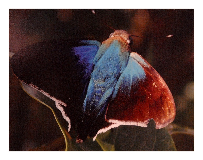 mariposa astraptes habana lucia