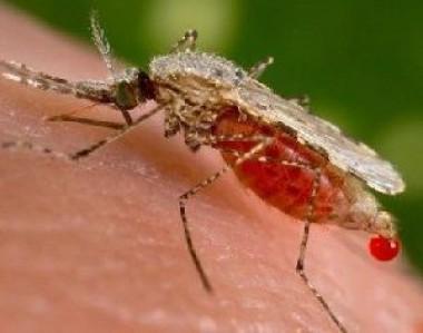 aedes aegipty (agente transmisor de esos virus)