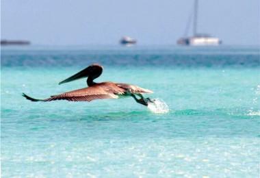 pelicano en área protegida sabana - camaguey