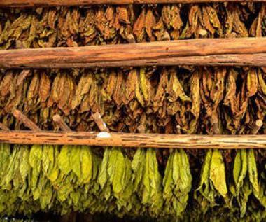 Cura de tabaco, un proceso complejo y delicado