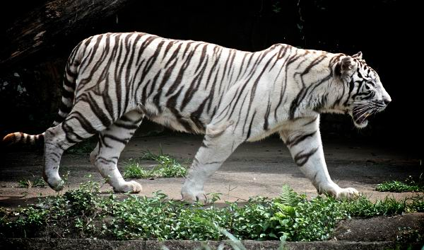 tigre bengala blancos