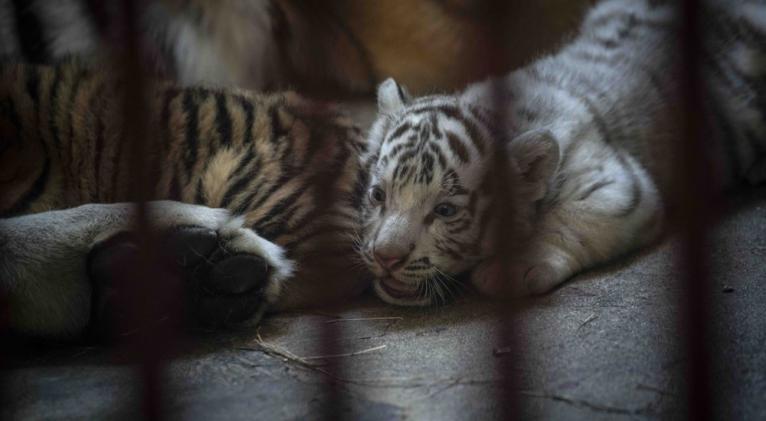 tigre_blanco.jpeg